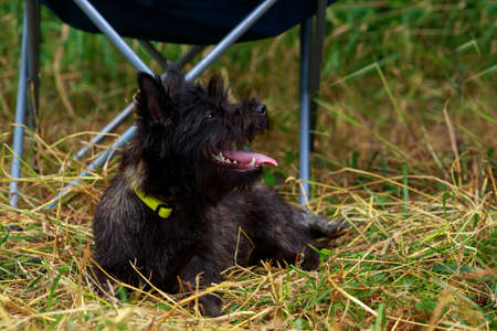 Dog breed Norwich lying in the park Banco de Imagens