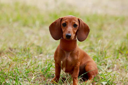 Dog breed dachshund sitting in the park Banco de Imagens