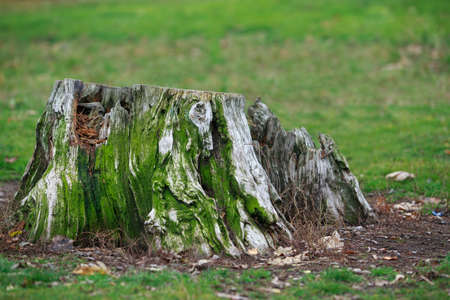 old rotten tree stump covered with green moss