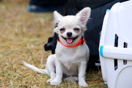 Dog breed Chihuahua sitting in the park near a portable box
