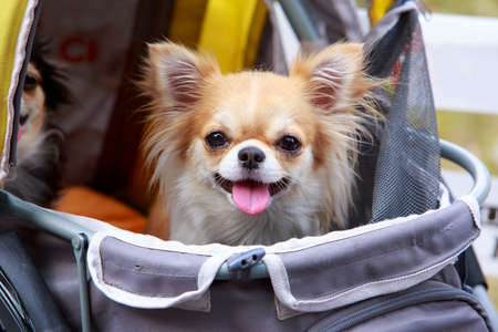 Dog breed Chihuahua sitting in a stroller