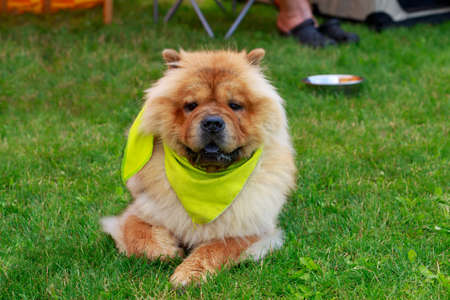 Dog breed Chow Chow on a green grass