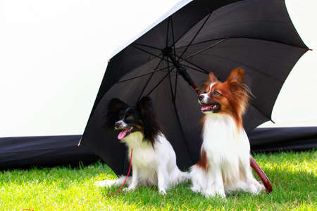 Two dogs papillon are sitting under a black umbrella