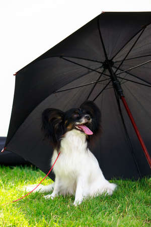 Dog breed papillon are sitting under a black umbrella