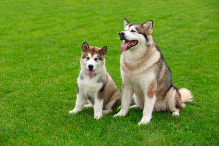 Two dogs breed Alaskan Malamute rest on the green grass Banco de Imagens