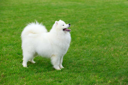 Dog breed Samoyed on a green sports field