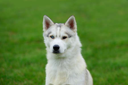 Puppy of dog breed Siberian husky on green grass