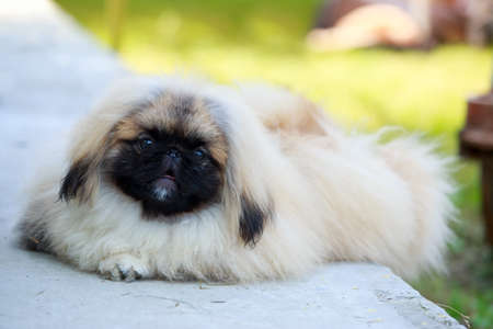 Dog breed pekingese on the green grass