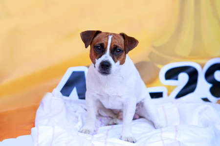 Dog breed Jack Russell Terrier a close-up