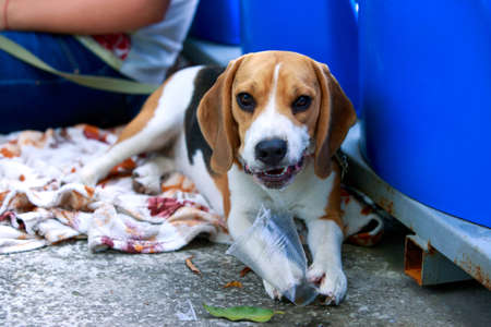 Dog breed beagle nibbles a plastic cup