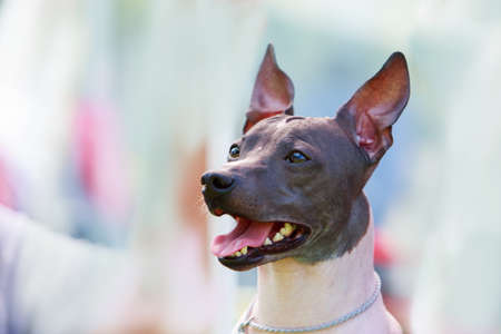 Dog breed mexican hairless dog on a blue background