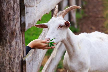 Portrait of white goat a close up Stock fotó