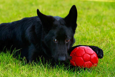 Dog breed German Shepherd with a red ball on green grass