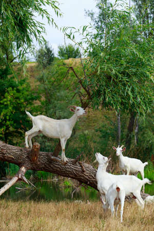 Goats on a tree in warm sunny summer