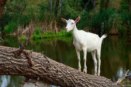 Goat on a tree in warm sunny summer