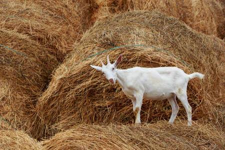 Goat eat fresh hay near the farm Reklamní fotografie