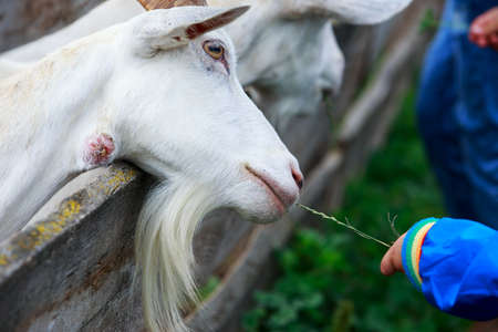 Young white goat eats grass from a hand
