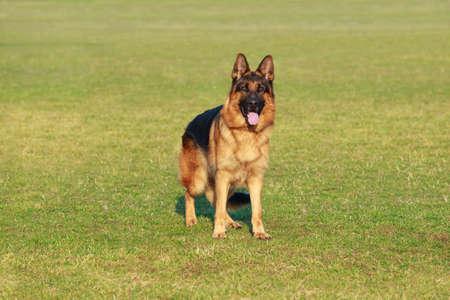 Dog breed German shepherd stands on a sports green field Imagens