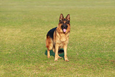 Hunderasse Deutscher Schäferhund steht auf einer Sportgrünwiese Standard-Bild