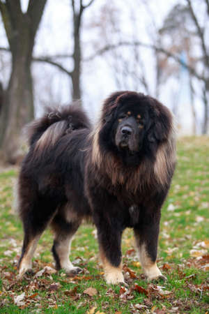 Dog breed Tibetan Mastiff on the grass