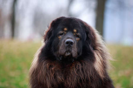 Portrait dog breed Tibetan mastiff a close-up