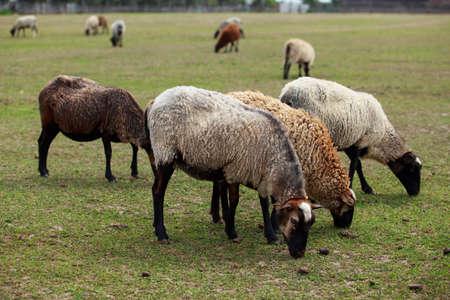 Beautiful young sheep graze in the meadow