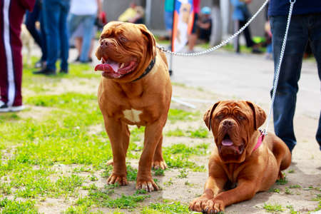 Two dogs of breed french mastiff walk in the park