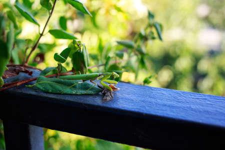 Big beautiful green mantis a close up