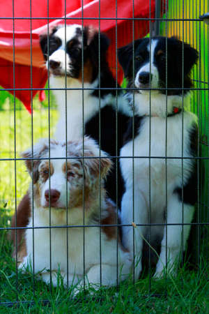 Three dogs of breed Australian Shepherd a close up