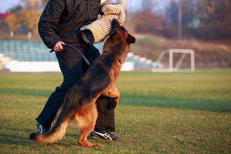 The police dog training to attack criminals