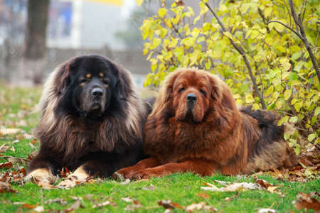 Two dogs breed Tibetan Mastiff on the grass
