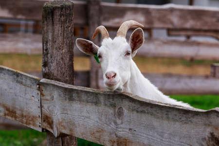 Young white goat on an organic farm Stock fotó