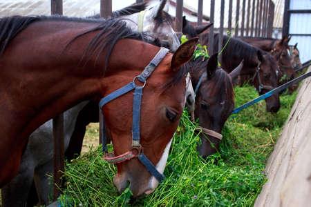 Beautiful horses on a farm eat clover Banco de Imagens - 142118123