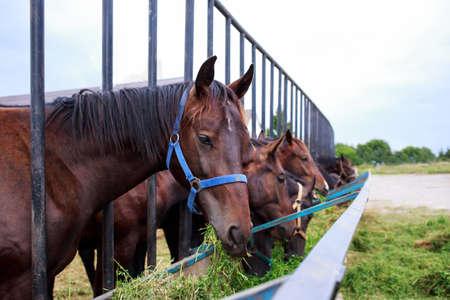 Beautiful horses on a farm eat clover Banco de Imagens - 142118127