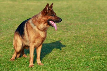 Dog breed German shepherd stands on a sports green field