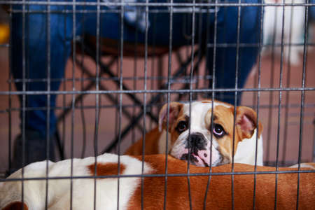 Dog breed English Bulldog sits in a cage Banque d'images