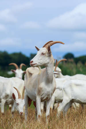 Goats in the pasture of organic farm Stock fotó