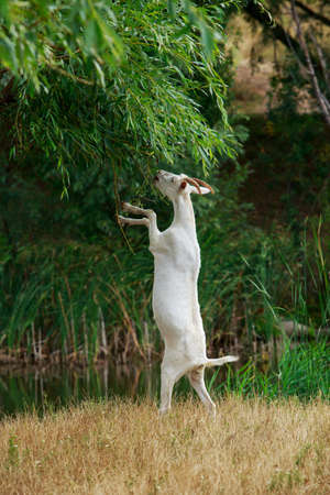 Goat tries to get leaves from a tree Stock fotó