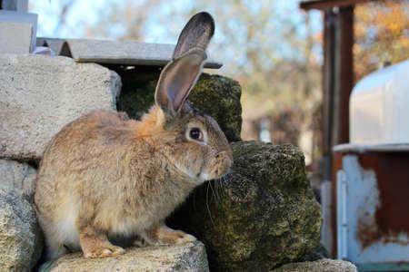 Big gray rabbit sits on the stones