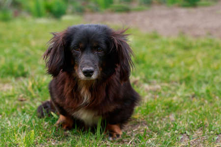 Dog breed dachshund close up in the park