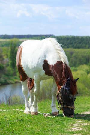 Beautiful big horse grazes in the meadow