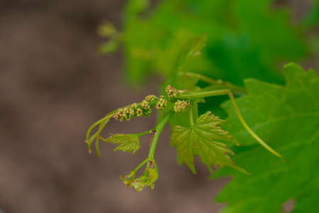 Beautiful young grape sprouts close up outdoors
