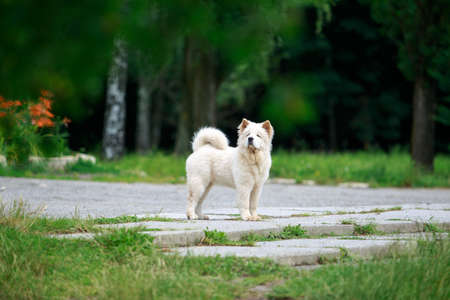 Dog breed chow chow for a walk in the park