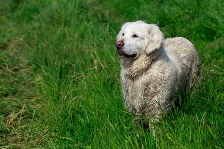 Dog breed golden retriever on green grass