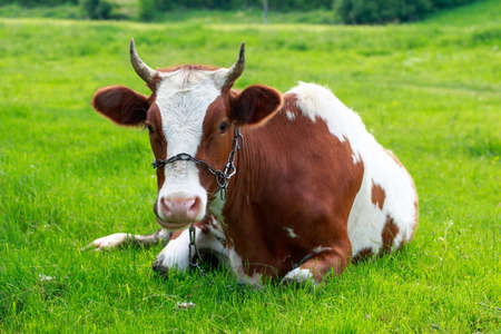 Beautiful young cow on a background of green grass