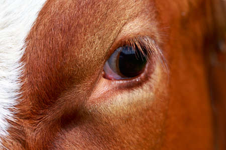 big eye of brown cow close up