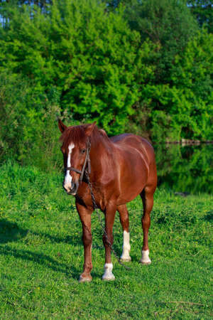 Young brown horse on a green meadow 免版税图像