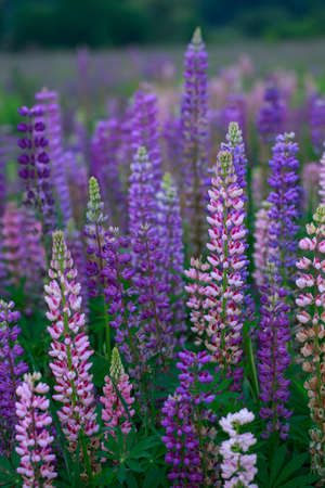 Beautiful bright lupine flowers on the field