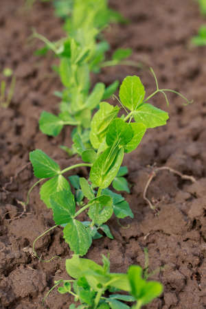 Young sprouts of peas on the soil