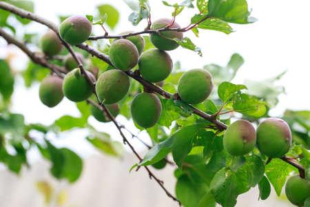 Beautiful green peach growing on a tree